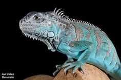 Blue Iguana                                                       …