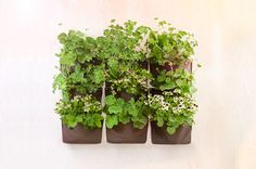 How would you have some green for the coming winter? We will tell you, this set of herb pack can be arranged as an indoor vertical garden.