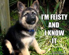 german sh puppy