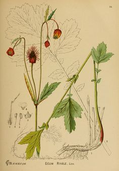 Geum Rivale, American medicinal plants New York, Boericke & Tafel, Nature Illustration, Botanical Illustration, Botanical Drawings, Botanical Prints, Flora Botanica, Art Assignments, Flower Sketches, Plant Science, Fauna