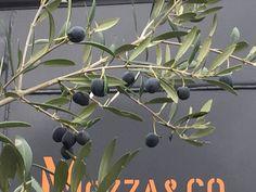 Les olives murissent à Paris http://www.pariscotejardin.fr/2015/12/les-olives-murissent-a-paris/