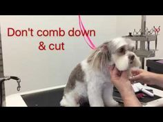 Sue Wright - dog grooming - Maltese cross shihtzu cute round face