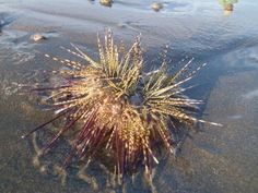Sea Urchin washed up on the beach in Playa del coco, Costa Rica