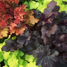 Heuchera ☘️ ☘️ ☘️  Evergreen perennial that comes in a huge variety of colors, likes partial shade, attract butterflies,and it's common name is derived from the nodding, bell-shaped flowers that emerge on swaying stems above the leaves