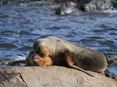 Lobos Marinos en las Islas Palomino Lima Perú