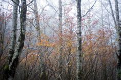 Fall color brightens a gray, foggy scene in the Bear Creek watershed near Astoria, Oregon