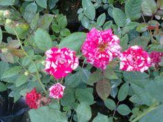 mini rosa bicolor