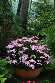 Flower Gardening Let's Dance Starlight reblooming hydrangea (Hydrangea macrophylla) stays a compact making it a great choice for containers. Hydrangea Macrophylla, Hortensia Hydrangea, Hydrangea Garden, Hydrangea Flower, Hydrangeas, Container Flowers, Flower Planters, Container Plants, Gardens