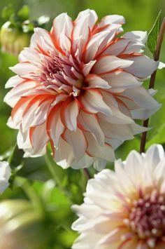 orange white flower