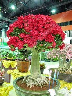 Aweome Adenium bonsai tree.