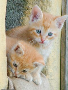 magical-meow: Two red kittens (by TwomasC)