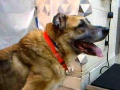 A228132 WDI11    CALLING ALL ANIMAL LOVERS: We need to work together and save this wonderful SENIOR!! Rescues please help!!    Hello my name is Shelby. I don't have too much hope in being saved, since I am a little old. I am an 11-year-old German shepherd female. I was abandoned in a foreclosure house, which makes me sad because I miss my family. I am VERY VERY friendly and sweet. I have a great PERSONALITY.