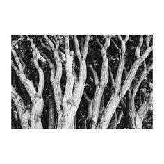 #parquegenovés #cádiz #andalucía #spain #blancoynegro #blackandwhite #trees #árboles #ramas #branches #igers #igersspain #vsco #vscoedit #vscolovers #canon6d #85mmlens #picoftheday #photooftheday
