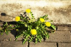 Pest Control, Places Ive Been, Dandelion, Gardening, Om, Google Search, Modern, Lawn, Trendy Tree