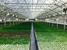 This Is The World's Largest Rooftop Greenhouse  On the roof of a new factory in Chicago, Gotham Greens is running 75,000 square feet of year-round local produce production.
