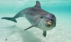 Bottlenose dolphin facts about bottlenose dolphins for . Smiling Animals, Baby Animals, Cute Animals, Orcas, Photo Dauphin, Beautiful Creatures, Animals Beautiful, Bottlenose Dolphin, Humpback Whale