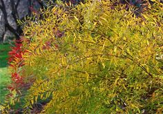 5 x 5  yellow all spring and summer  caraqmel color in fall  spirea thunbergi ogon
