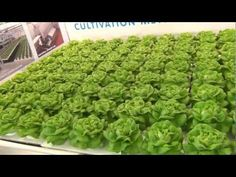 Floating Foam - Shallow Water Culture - Hydroponic Lettuce