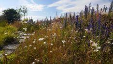 Augustenborgs Botaniska Takträdgård  Bakkerne er fremstillet af Styrofoam under en 15 cm tykt substratlag. Vegetationen her består af græs og tør eng planter, der har en lang blomstring sæson.