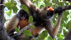 Geoffroy's Spider Monkeys (Ateles geoffroyi) are called mono aranya in Spanish...Traveling Costa Rica