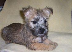 cairn terrier puppies