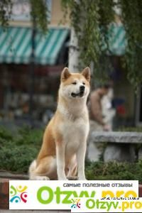 """Click visit site and Check out Hot """"Akita Dog"""" T-Shirts & Hoodies. This website is superb. Tip: You can type """"your first name"""" or """"your favorite shirts"""" by using search bar on the header. Shiba Inu, Chien Akita Inu, Hachiko Dog, Japanese Akita, Japanese Dogs, Akita Dog, Hachi A Dogs Tale, Cute Puppies, Cutest Animals"""
