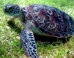 Save Green Sea Turtles omg this is such a beautiful green turtle!