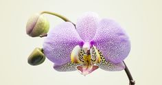 """We decided to plot the 150+ """"local"""" genera of orchids so you can see how impressive this flower can be. View our Compendium of American Orchids."""