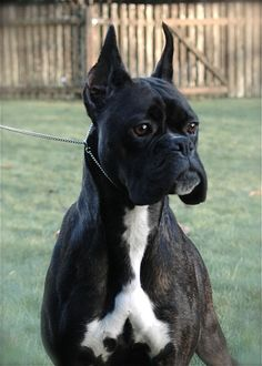 Image For Havenwoods Boxers Top Quality Akc German And