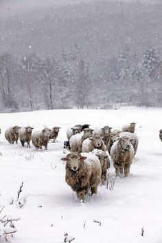 sheep in snow//