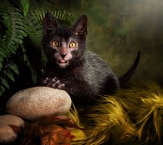 A cat breed so new, it's just beginning to be shown at cat shows. The Lykoi (li-coy), Greek for wolf, is sometimes called The Werewolf Cat. They are a natural mutation that is being carefully bred to create a new officially recognized cat breed. Do you think they're cute or not?