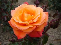 New Year - Grandiflora, orange blend, 20 petals, 1983, rated 7.1 (average) by ARS.