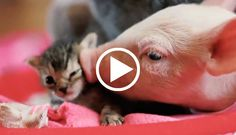 Rescue Pig & Kitten do everything together! For animal people. Pass it on.