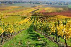coltivazione della vite Piemonte - Buscar con Google