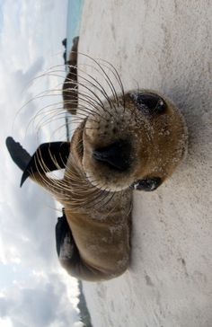 Baby seal with long curling whiskers.