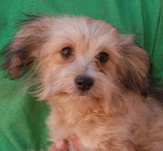 Nicholas is an adorable baby boy debuting for adoption this morning at Nevada SPCA (www.nevadaspca.org).  He is a Havanese mix puppy, coming up on 4 months of age and now neutered.  Nicholas loves people and dogs, and he's eager to fit in and learn all he can.  Please plan and budget for regular professional grooming.  Nicholas was found on a busy street with no sign of responsible ownership (no ID tag, no microchip ID, not neutered).