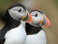 Scottish seabird protection delayed by UK Government