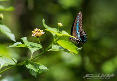 "Indonesia, North Sulawesi- - The Flying Flower - ""Butterflies are self propelled flowers."" R.A.H. by Emanuele Del Bufalo"