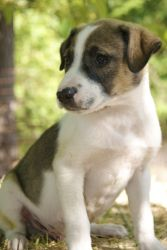 Milo~ is an adoptable Jack Russell Terrier Dog in Pearl River, NY. Milo is a sweet little 9 week old male JRT/Lab puppy surrendered to our rescue in TN. He loves other dogs and really loves to play wi...