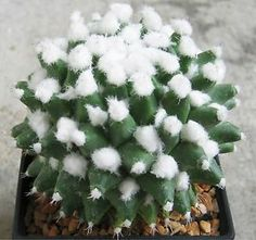 Mammillaria bucareliensis cv.ERUSAMU / not aztekium astrophytum cactus http://www.ebay.com/itm/221315843600?ssPageName=STRK:MESELX:IT&_trksid=p3984.m1555.l2649