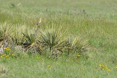 A Western Meadowlark perched on a Yucca plant on the Pawnee National Grasslands in Weld County, Colorado. Arapahoe Indians, Yucca Plant, State Birds, Blue Heron, Bird Species, Colorado, Plants, Aspen Colorado, Flora