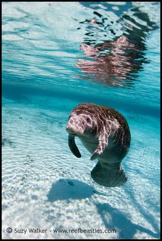 Manatee in the sun! swimming underwater Love them! The gentle giant. I've seen these up close at Clearwater beach. They swam right up to us. They are so sweet! Water Animals, Animals And Pets, Baby Animals, Beautiful Creatures, Animals Beautiful, Sea Cow, Water Life, All Nature, Ocean Creatures