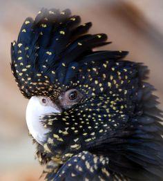 Black Cockatoo, Austrailia