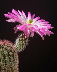 Echinocereus Pink