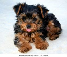 Google Image Result for http://image.shutterstock.com/display_pic_with_logo/15/15,1150335954,1/stock-photo-yorkie-puppy-sticking-his-tongue-out-1438651.jpg