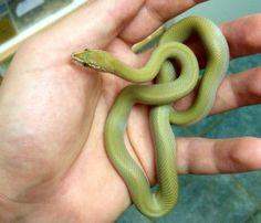 Hypo Green House Snake