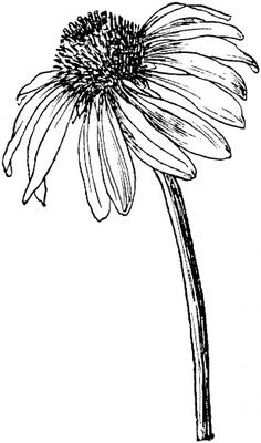 Echinacea purpurea or Purple coneflower coloring page from Coneflowers category…. Echinacea purpurea or Purple coneflower coloring page from Coneflowers category. Select from 20946 printable crafts of cartoons, nature, animals, Bible and many more. Flower Sketches, Easy Sketches, Plant Drawing, Garden Drawing, Printable Crafts, Free Printables, Motif Floral, Simple Flowers, Watercolor Flowers