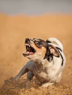 Toy Fox Terrier...I'm gonna get you!!!