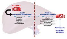 liver_detox_phases