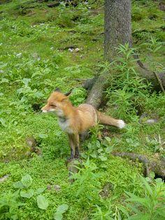 Fox, Ähtäri Zoo in Finland